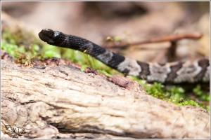 Timber Rattlesnake - IMG_5460