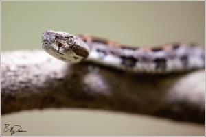 Timber Rattlesnake - IMG_5483