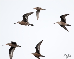 Godwits and A Dowitcher