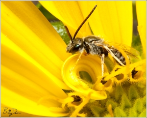 Long-horned Bee