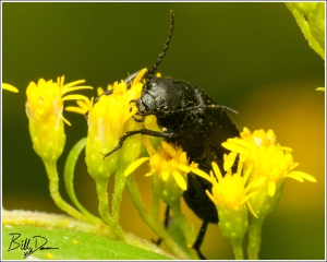 Black Blister Beetle