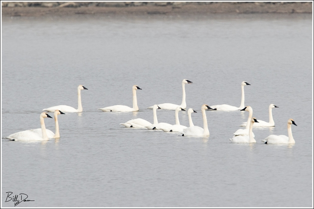 Mix of Swans