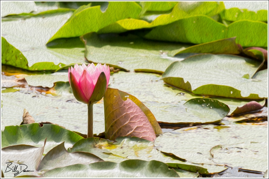 Water Lilies - 3
