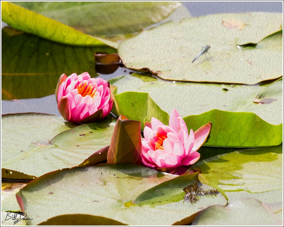 Fragrant Water Lilies - 1