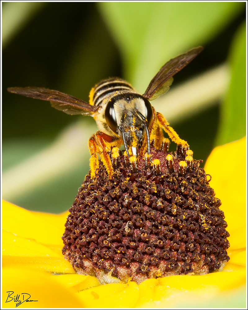 Leafcutter Bee - Megachile sp.