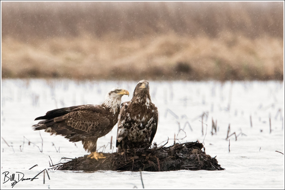 Bald Eagles - 4 yr and 2 yr