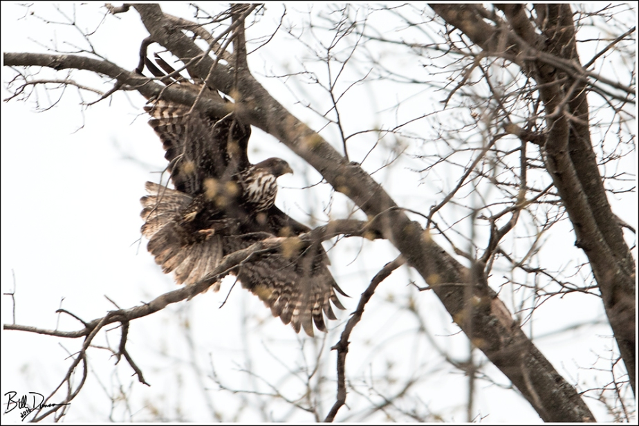 """Red-tailed """"Harlan's"""" Hawk"""