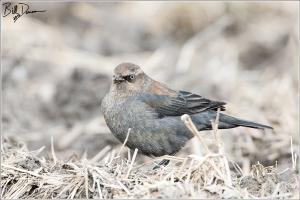 Rusty Blackbird - Female