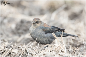 Rusty Blackbird - Female