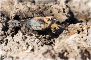 Rusty Blackbird - Male