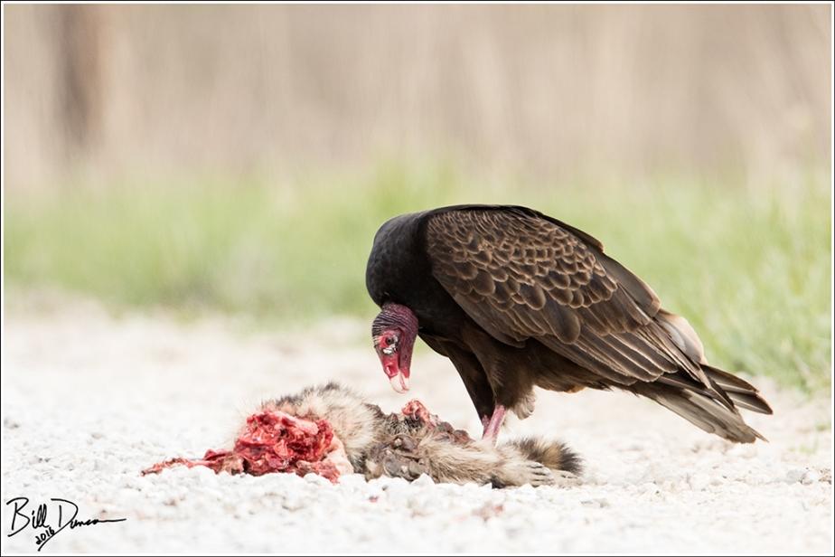 Turkey Vulture Feeding
