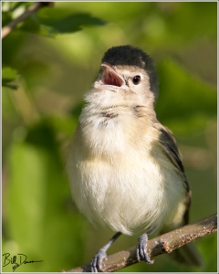 Bell's Vireo - 6A1A1234