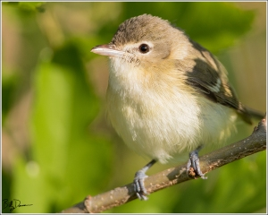 Bell's Vireo - Riverlands Migratory Bird Sanctuary, Missouri