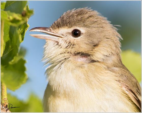 Bell's Vireo - Riverlands Migratory Bird Sanctuary, Missouri