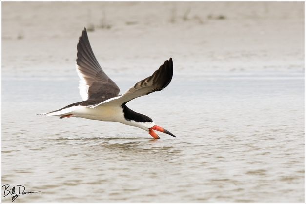 Black Skimmer - East End Lagoon Nature Park and Preserve, Galveston TX