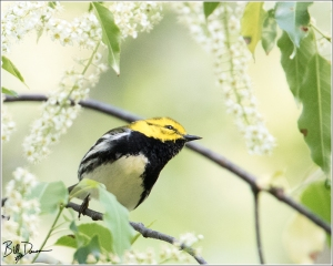 Black-throated Green Warbler - 6A1A6816
