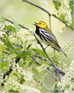 Trees, Trees, Murmuring Trees - Black-throated Green Warbler, Tower Grove Park, St. Louis, Missouri