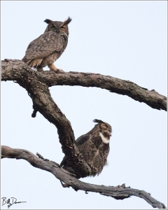 Great-horned Owl - 520A4284