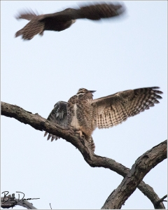 Great-horned Owl - 520A4301