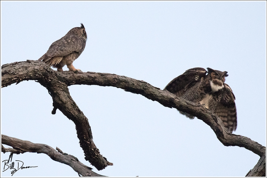 Great-horned Owl Pair - Wild Acres Park, MO