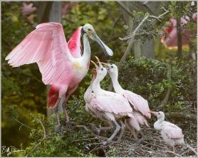 Roseate Spoonbill - Houston Audubon Society Smith Oaks Bird Sanctuary