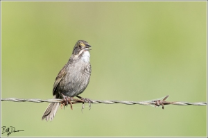 Seaside Sparrow - Anahuac NWR
