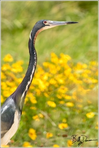 Tri-colored Heron - San Bernard NWR, TX