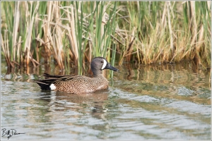 Blue-winged Teal - 6A1A8844