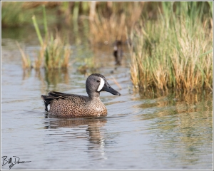 Blue-winged Teal - 6A1A8856