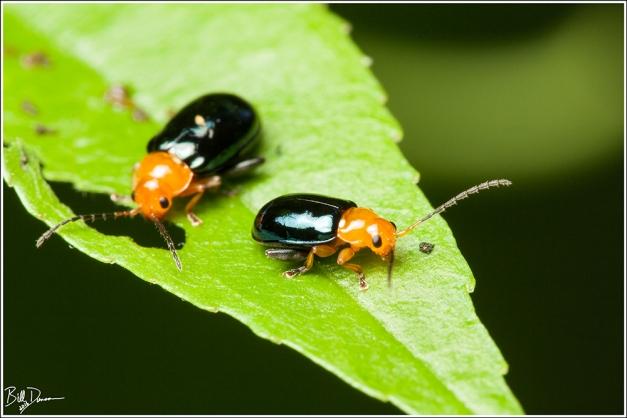 Shiny Flea Beetle - Chrysomelidae - Asphaera lustrans, Shaw Nature Reserve, MO