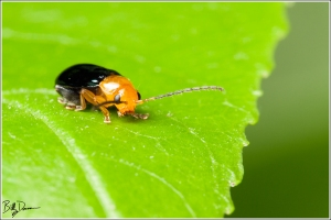 IMG_6343 - Shiny Flea Beetle - Chrysomelidae - Asphaera lustrans