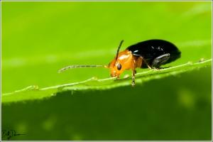 IMG_6358 - Shiny Flea Beetle - Chrysomelidae - Asphaera lustrans