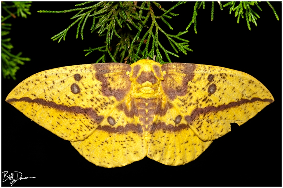 Imperial Moth - Saturniidae - Eacles imperialis, photographed at Cuivre River SP during national moth week.