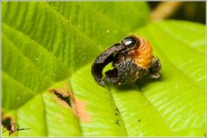 Warty Leaf Beetle - Chrysomelidae - Neochlamisus gibbosus