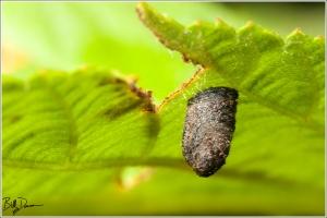 Warty Leaf Beetle - Chrysomelidae - Neochlamisus gibbosus. Larval scatoshell. Photographed at Shaw Nature Reserve, MO.