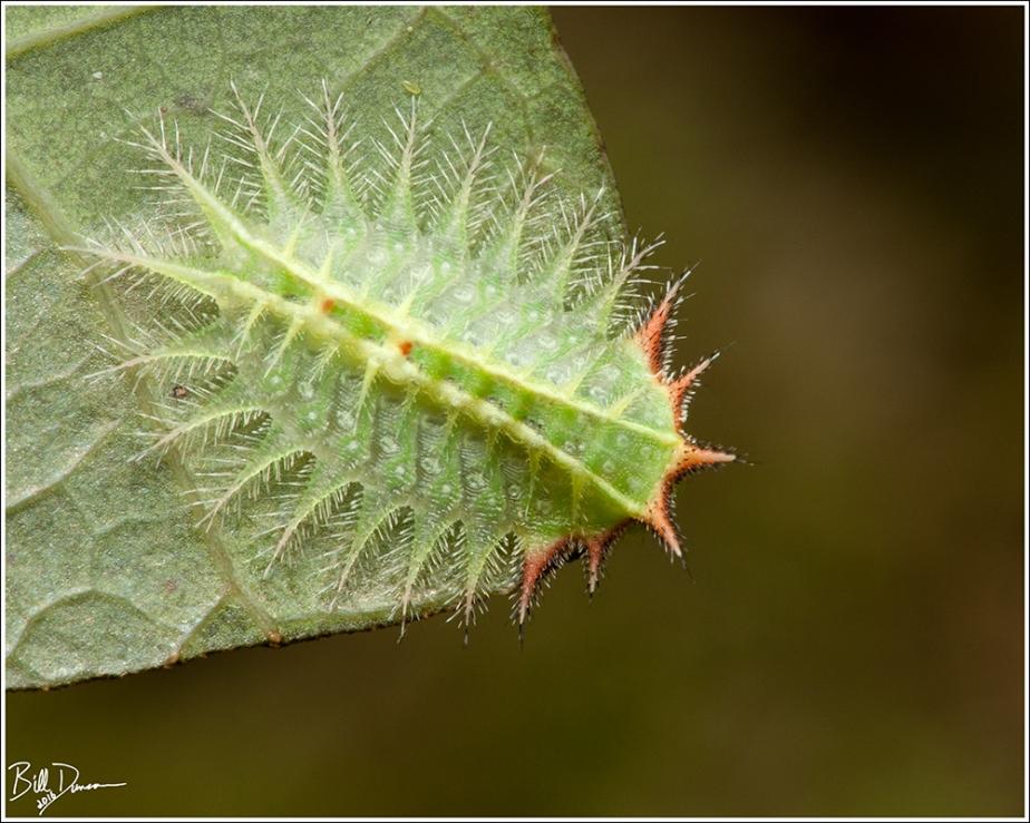 Crowned Slug -Limacodidae - Isa textula (4681)