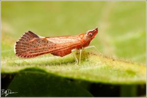 derbid-planthopper-derbidae-apache-degeerii-img_7308