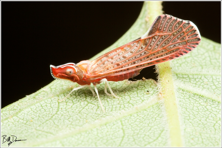 Derbid Planthopper - Derbidae Apache Degeerii