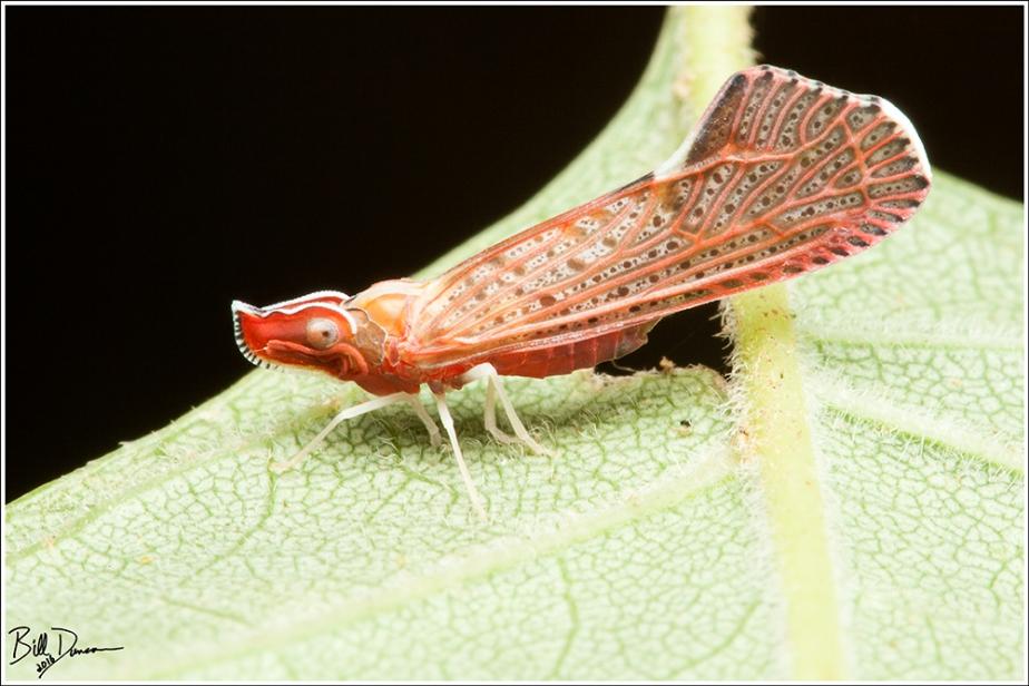 Derbid Planthopper - Derbidae Apache Degeerii