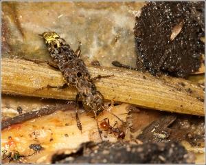 gold-and-brown-rove-beetle-staphylinidae-ontholestes-cingulatus-img_6900