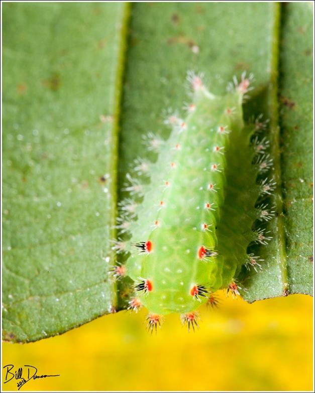 nasans-slug-limacodidae-natada-nasoni-4679-img_7670