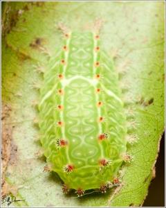 nasans-slug-limacodidae-natada-nasoni-4679-img_8281