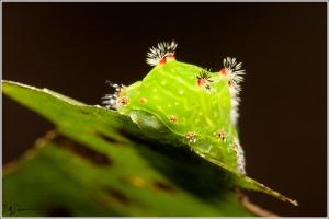 nasans-slug-limacodidae-natada-nasoni-4679-img_8286