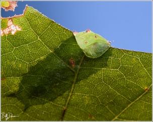 Nissan's Slug Moth Caterpillar