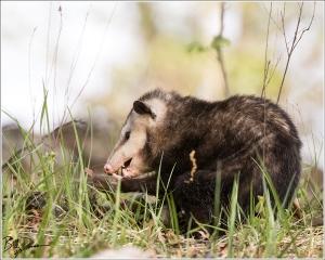 Virginia Opossum - Mingo NWR