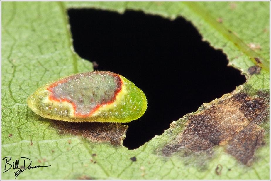 Red-crossed Button Slug - Limacodidae - Tortricidia-pallida (4653), Millstream Gardens Conservation Area, MO