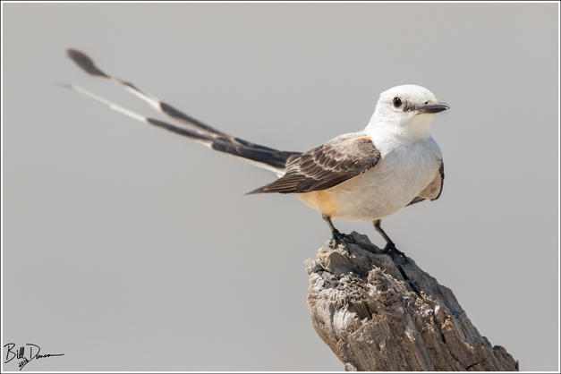 Scissor-tailed Flycatcher - Tyrannidae - Tyrannus forficatus.  East End Lagoon Preserve, Galveston TX.