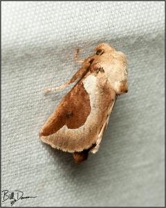 skiff-moth-limacodidae-prolimacodes-badia-4669-img_7070