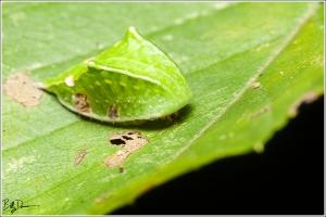 skiff-moth-limacodidae-prolimacodes-badia-4669-img_7765