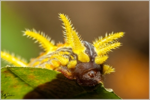 stinging-rose-caterpillar-limacodidae-parasa-intermedia-4699-img_8884